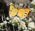 Hermes Copper - Lycaena hermes - male - female