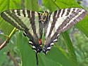 Butterfly on Paw Paw - Eurytides marcellus