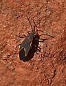 Boxelder Bug 582A 6712 - Boisea trivittata