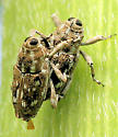 Weevils - Cylindrocopturus adspersus - male - female