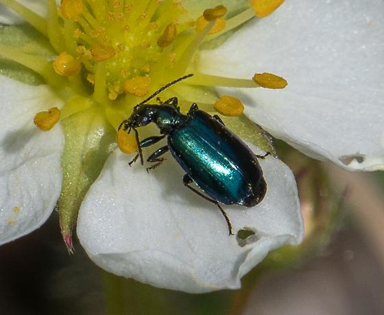 green ground beetle--Lebia viridis? - Lebia viridis
