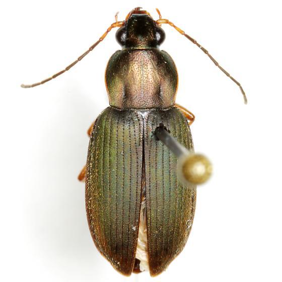 Chlaenius oxygonus Chaudoir - Chlaenius oxygonus