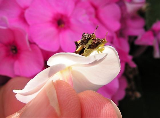 leaf bugs mating - Phymata - male - female