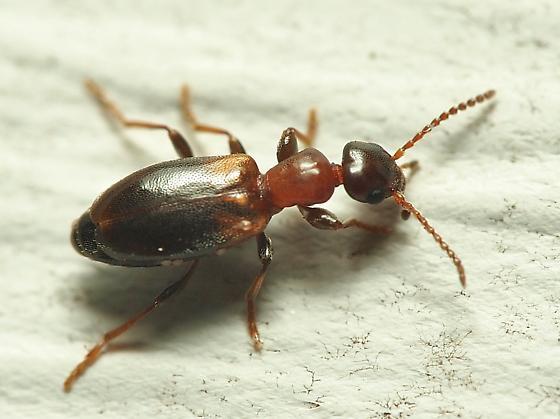 Unknown Beetle - Omonadus floralis