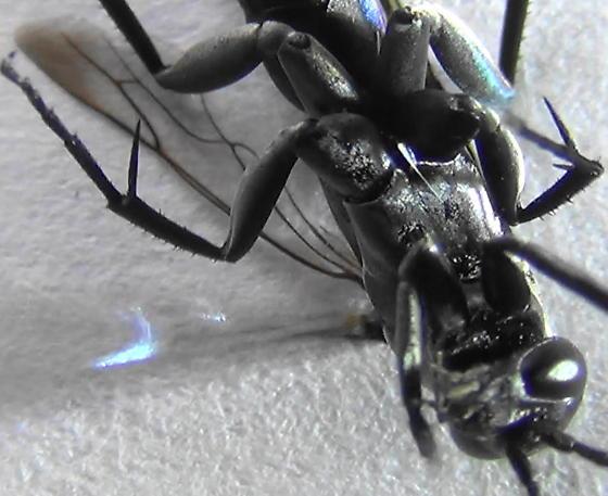 Blue Streaks (hind-wing) - Psorthaspis planata - male