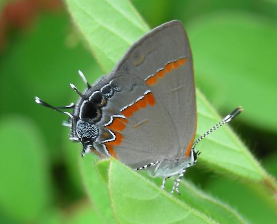 Butterfly. What genus and species? - Calycopis cecrops