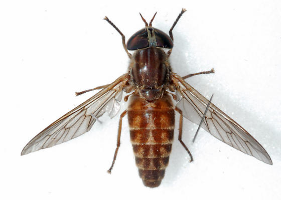 Unknown Horse Fly - Tabanus zythicolor - female