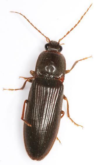 Hemicrepidius memnonius (Herbst) - Hemicrepidius memnonius