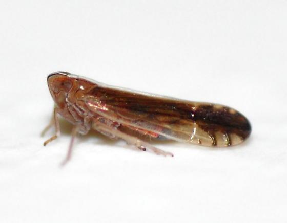 Stenocranus acutus - Stenocranus vittatus