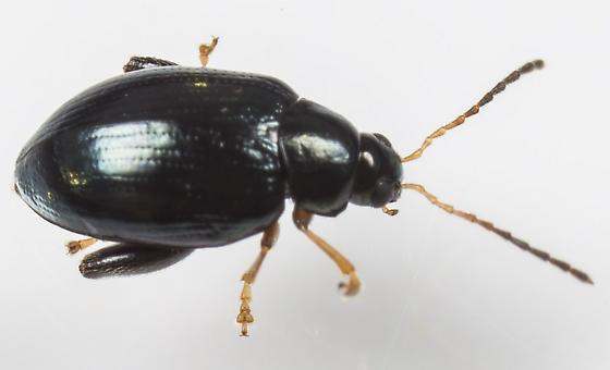 Beetle - Psylliodes