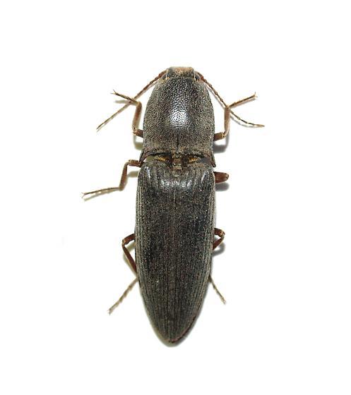 Elateridae at blacklight - Lanelater schottii