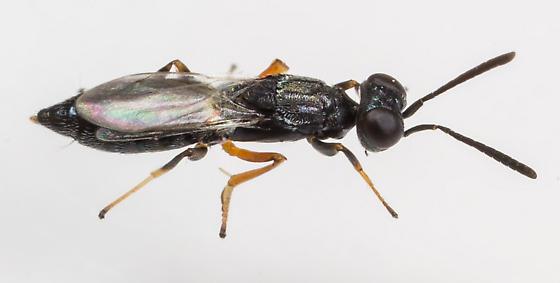 Wasp - Brasema - female