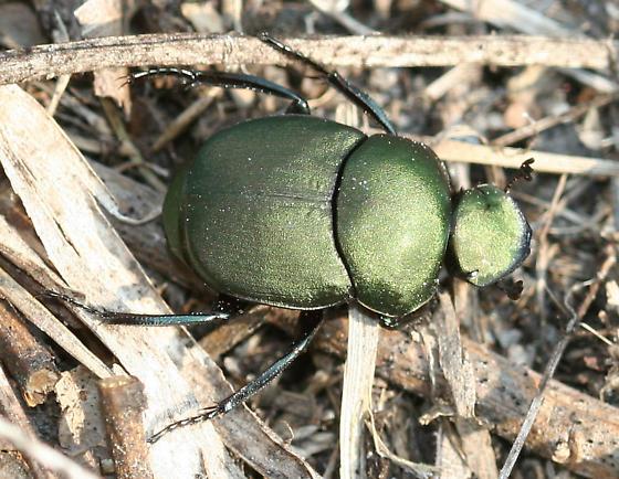 Dung Beetle - - Canthon pilularius