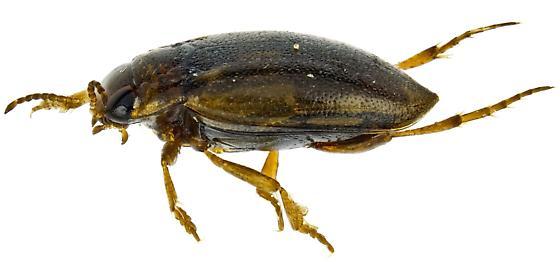 Liodessus obscurellus? - Liodessus