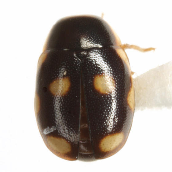 Hyperaspis punctata LeConte - Hyperaspis punctata