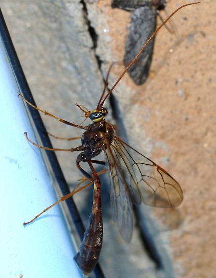 Ichneumon - Enicospilus - female