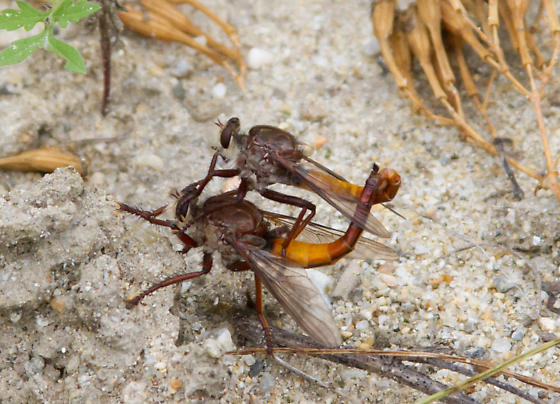 Mating Robbers - Proctacanthus rufus - male - female