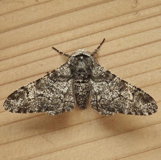 Geometridae: Biston betularia - Biston betularia - male
