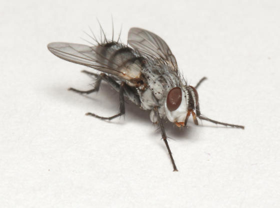Tachinidae, frontal - Zelia metalis - female