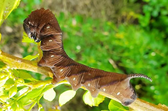 Sphinx Moth - Manduca rustica