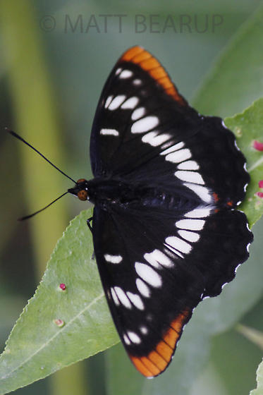 Butterfly - Limenitis lorquini