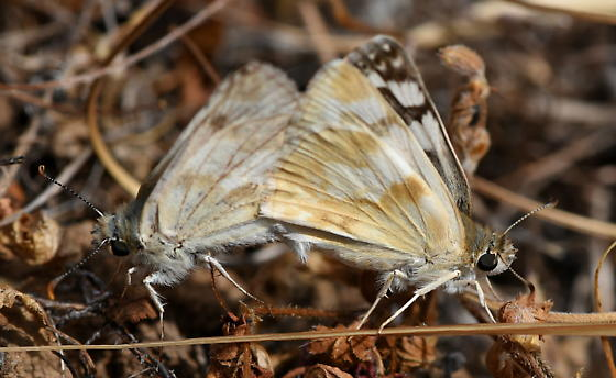 Northern White Skipper, Heliopetes ericetorum, mating near Malacothamnus - Heliopetes ericetorum