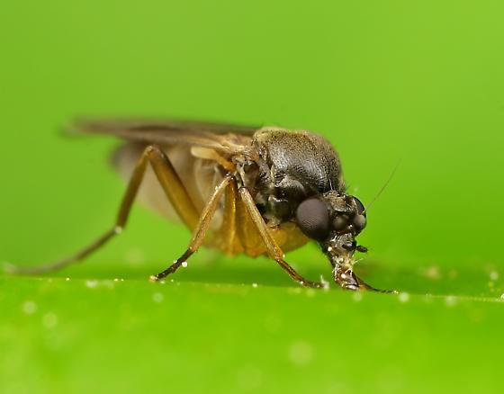 Diptera - Gymnophora luteiventris