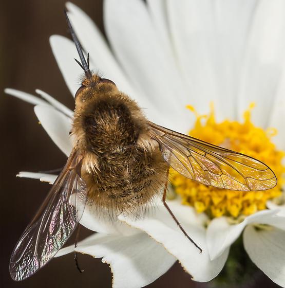 Bombylius sp.? - Bombylius