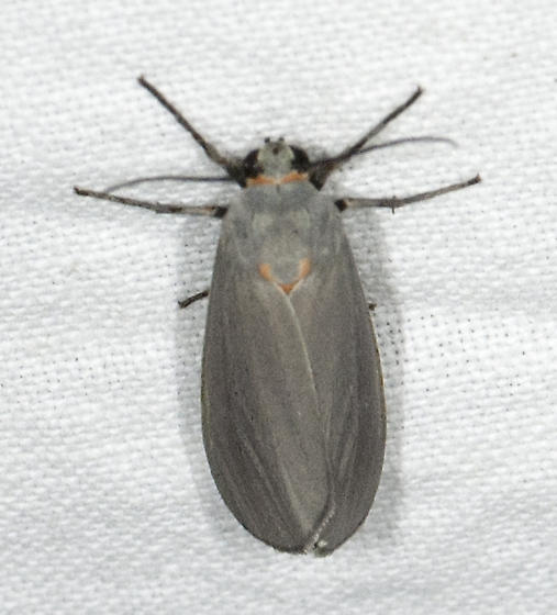 Grey with red markings - Pygarctia murina