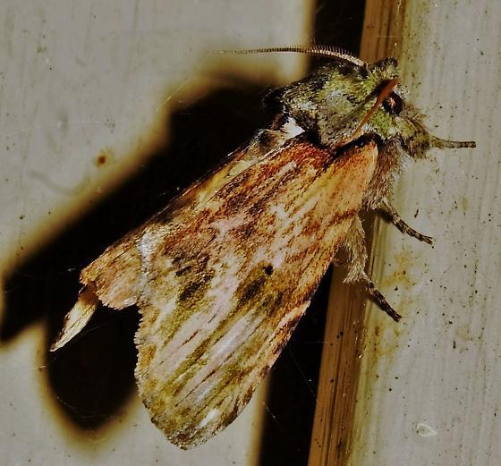 Prominent ID:  Schizura concinna or Oligocentria semirufescens?