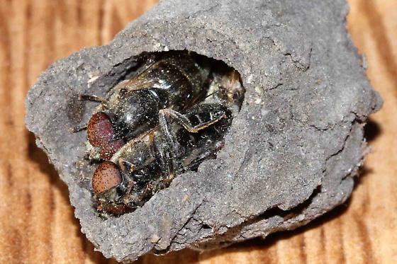 unknown fly species found packed into mud nest cell mud dauber wasp, Sceliphron caementarium