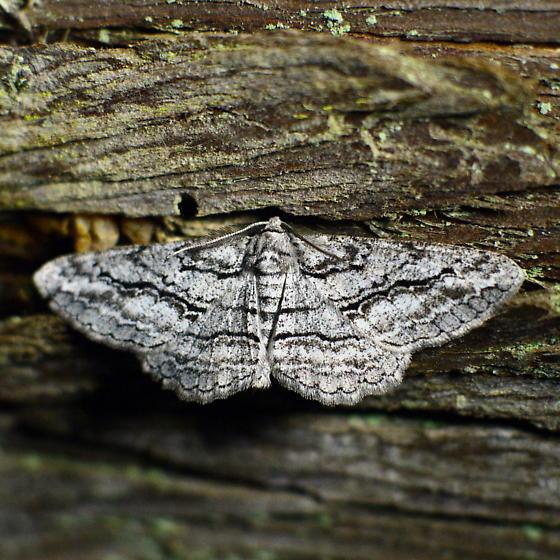 910889Stenoporpia excelsaria - Stenoporpia excelsaria - male