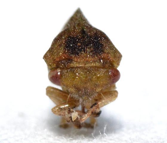 Cyrtolobus maculifrontis - female