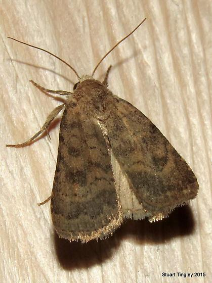 Mottled Rustic Moth - Caradrina morpheus