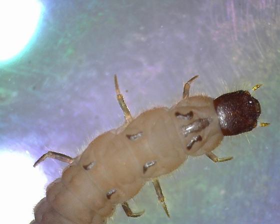 beetle larva - Malachius aeneus
