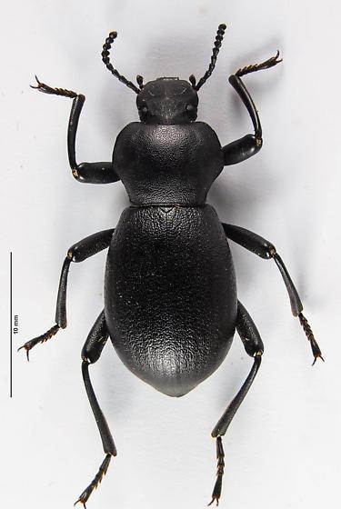 Stenochiinae - Coelocnemis