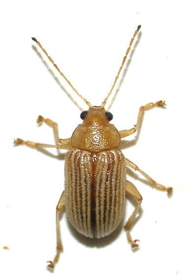 Colaspis sp. - Colaspis hesperia