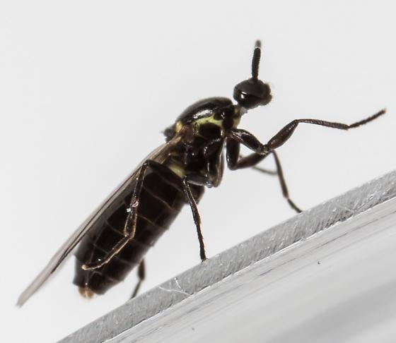 Scatopse - female