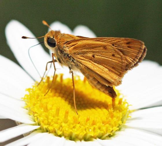Skipper? Moth. - Hylephila phyleus