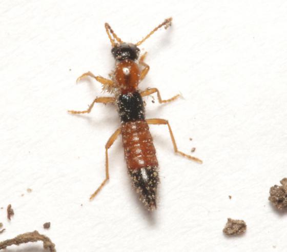 Staphylinidae, dorsal - Paederus