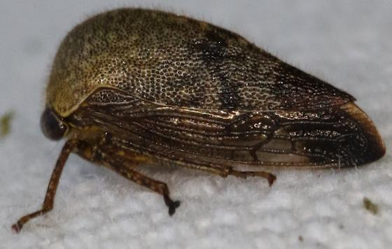 Insect - Carynota mera