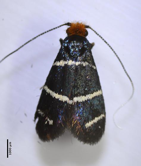 adela - Adela trigrapha - female