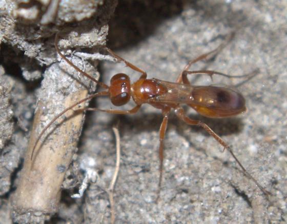 Wasp [=Ageniella?] ID Request - Ageniella faceta