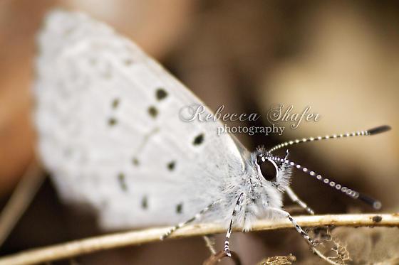 White Butterfly - Spring Azure - Celastrina