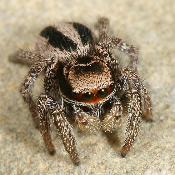 Jumping spider - Habronattus calcaratus - male