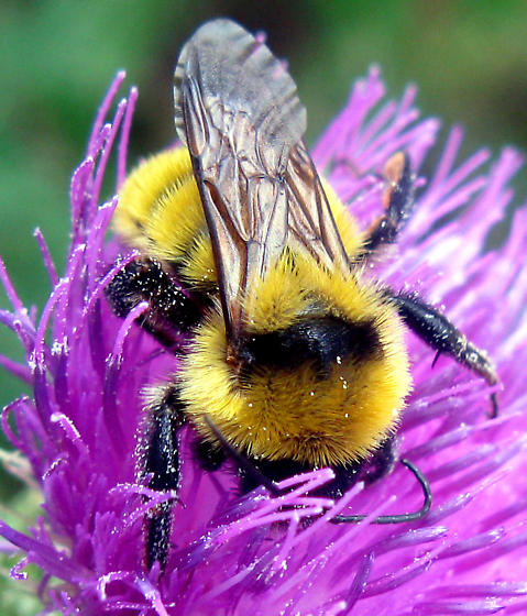 Golden Northern Bumble Bee  - Bombus fervidus - female
