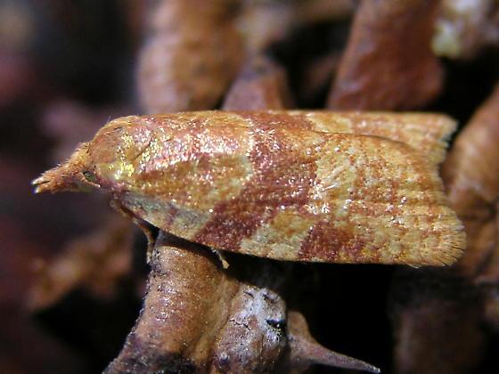 Sparganothis tunicana