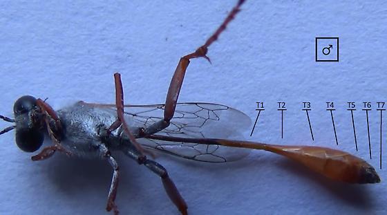 Sexing wasps in the genus Ammophila (abdominal tergites) - Ammophila - male