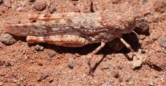 Acrididae - Cibolacris