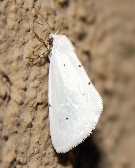 White Moth With Black Spots - Grotella septempunctata